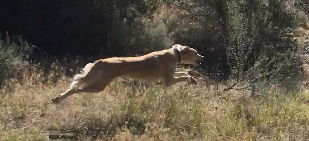 A Whitestone Saluki on the run. Credit: Michael Haig