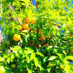 Orange trees that line Avenue Mohammed V