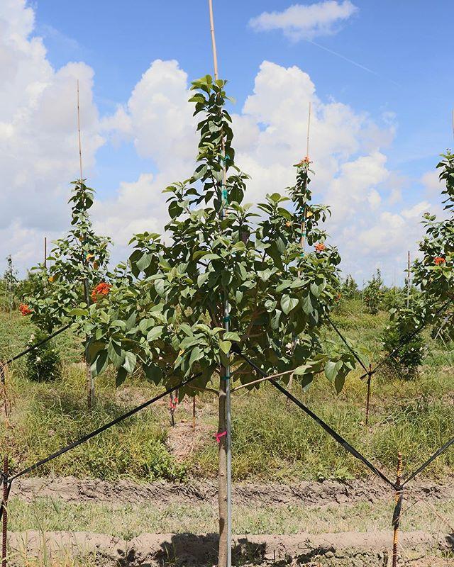 Orange Geiger - #trees #nature #landscape #photography #sky #naturephotography #tree #green #beautiful #photo #photographer #photooftheday  #outdoors #nofilter  #fall  #agriculture #farm #farming #farmer #farmlife #tractor #harvest #farmers #johndeere #agricultura #countryside #treefarm
