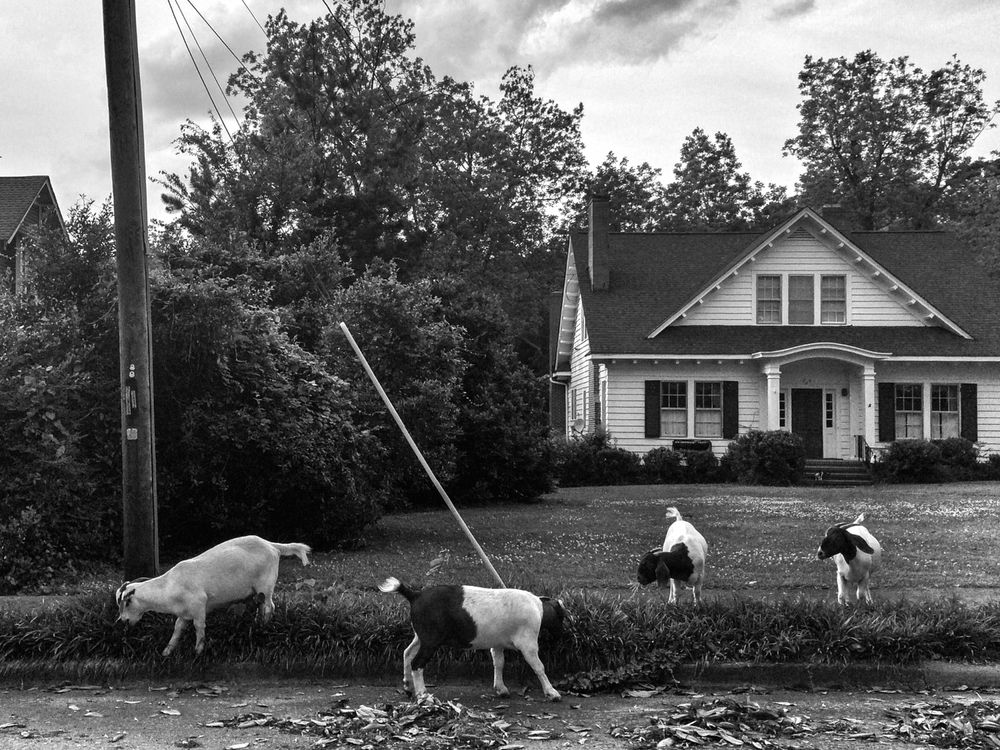 Goats trim monkey grass on Walton Street