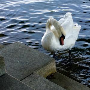 swan1.png