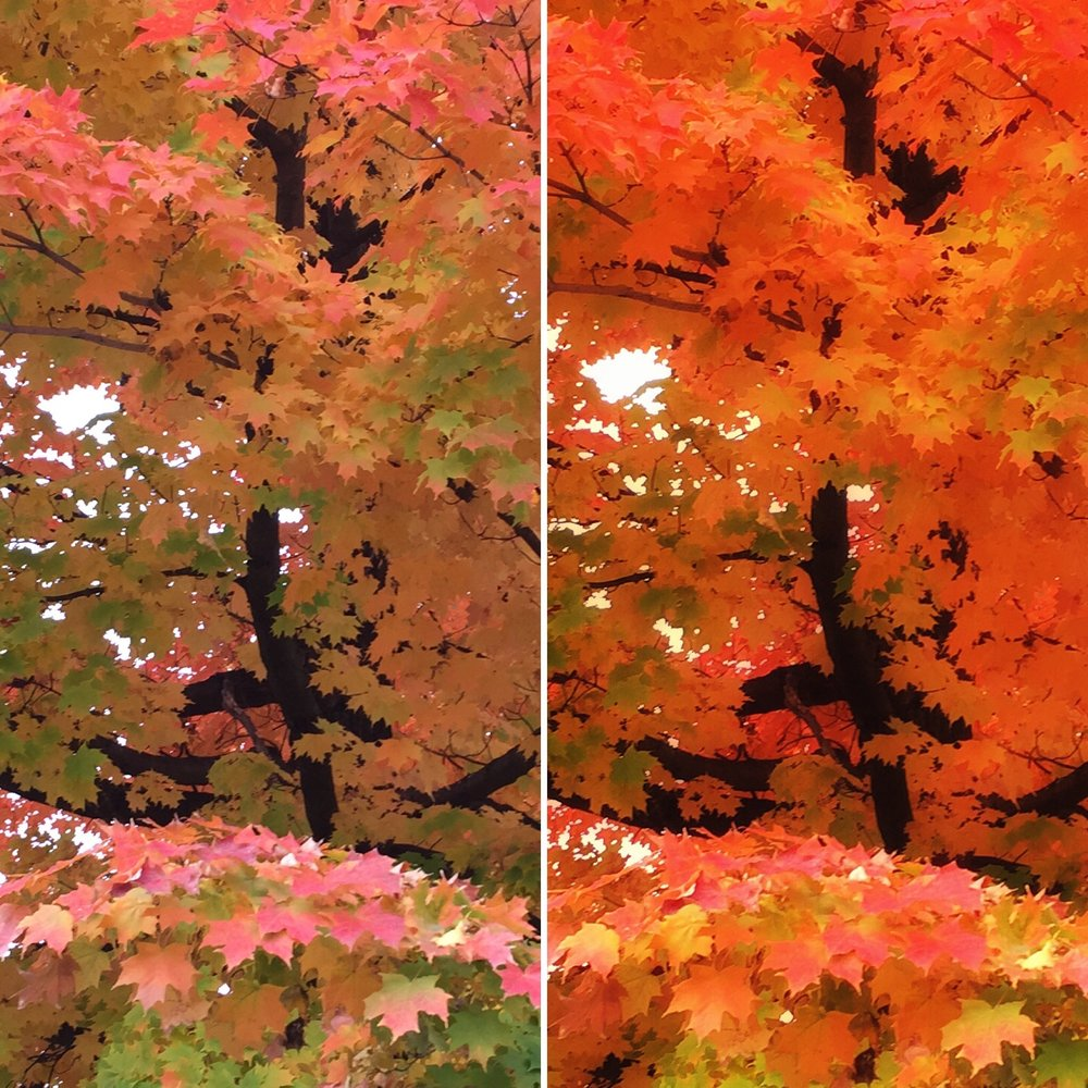 autumn maple.jpg