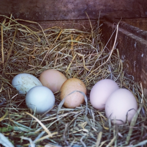 Freshly laid eggs from free range ladies living the HI life on Maui :)