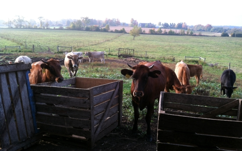 Biodynamic cows from Whole Cirlce Farm ~ Acton, Ontario
