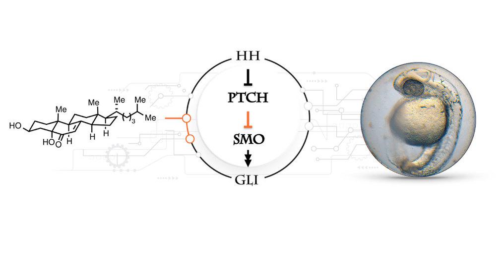 ondrus-lab-signaling-pathway-2.jpg
