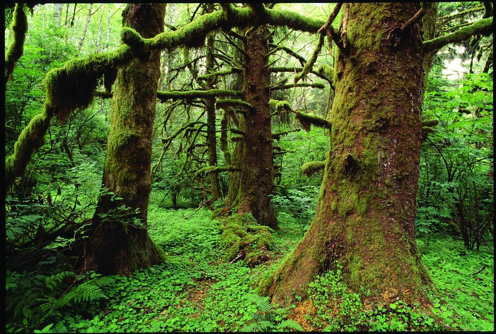 Old-growth Sitka spruce in the Cascade Head Scenic-Research Area on the Siuslaw National Forest in the Oregon Coast Range. It's still United Nations Biosphere Reserve, but please don't anyone tell President Trump.  Image: Gary Braasch.