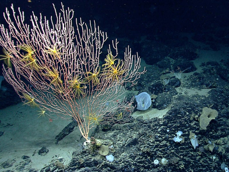Figure 1. The NEC&S Marine National Monument encompasses three canyons and four seamounts (extinct undersea volcanoes). This photo is from one of those seamounts, Mytilus, whose summit is 8,800 feet below the ocean's surface. It shows a bamboo coral attached to the black basalt rock formed by the volcano. The yellow animals on the coral are crinoids, or sea lilies, in the same major group of animals as sea stars. Source:  Earthjustice , NOAA.