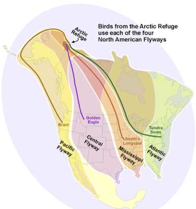 The Arctic National Wildlife Refuge connects with all four of the North American Flyways. Source: US Fish and Wildlife Service