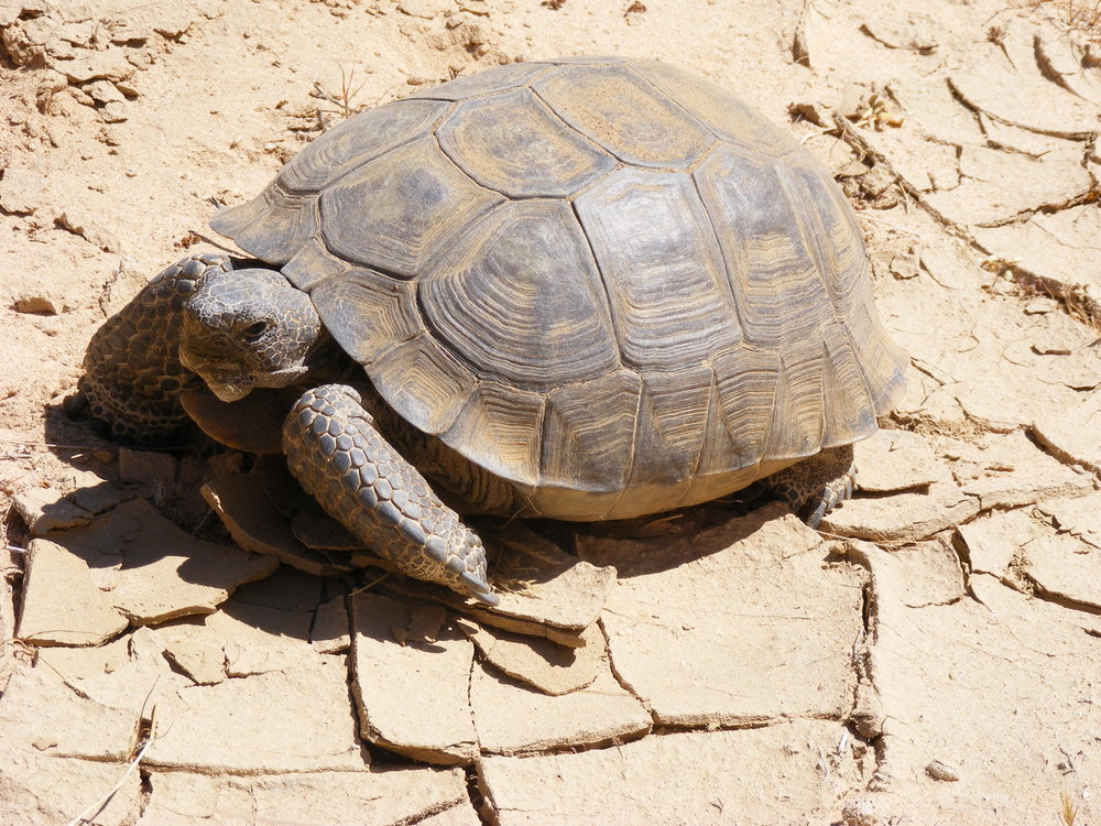 Listed under the Endangered Species Act in 1989, Agassiz's desert tortoise (Gopherus agassizii) is an herbivore that grazes grasses, wildflowers, and other plants. Any plant material ingested by domestic livestock is not available for native wildlife. Too bad tortoises don't wear cowboy hats. Source: Wikipedia.