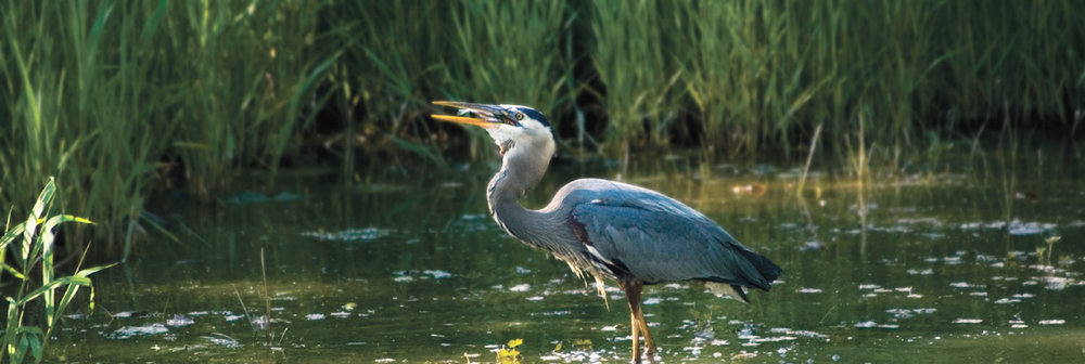 A great blue heron in the Wells National Estuarine Research Reserve in Maine.  Source: NOAA.