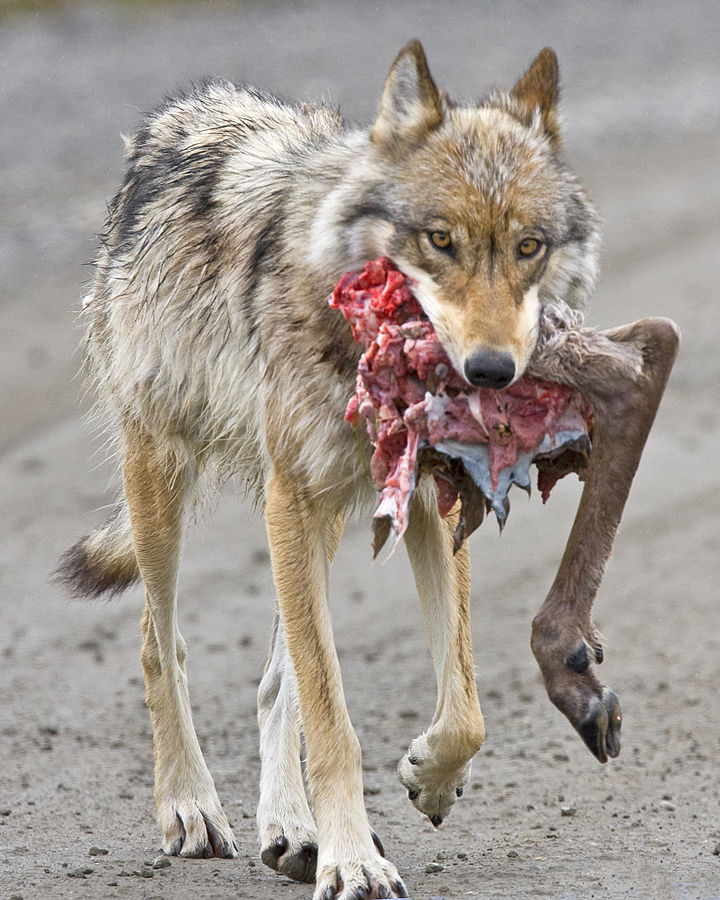 It's what wolves do. (Caribou, if you must know.)  Source:  Wikipedia