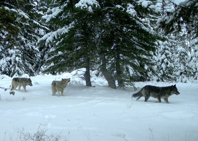 Wolves of the Minam Pack.  Source:  Oregon Department of Fish and Wildlife