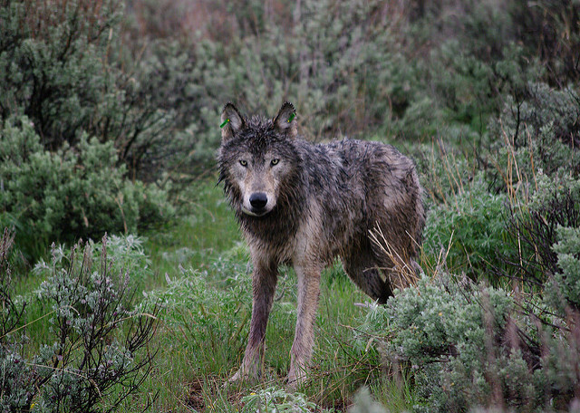 Wolves also use tree-free habitats such as in the Sagebrush Sea.  Source:  Oregon Department of Fish and Wildlife