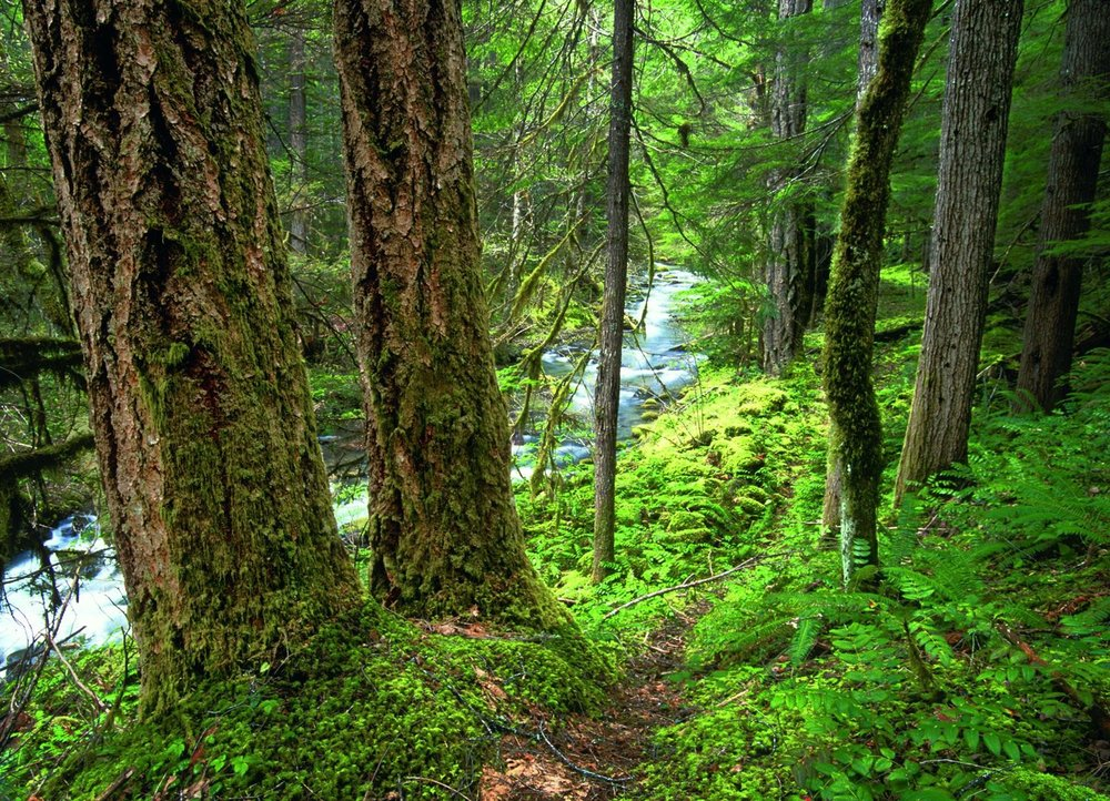 Old-growth forest in the Bitter Lick Creek unit of the proposed Rogue-Umpqua Wilderness Additions in the Oregon Cascades . Source: Ken Crocker (first appeared in   Oregon Wild: Endangered Forest Wilderness .