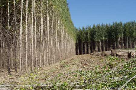 - Figure 2.Biomass energy can be sourced from real forests, or poplar plantations such as this one. Source: USDA Forest Service.