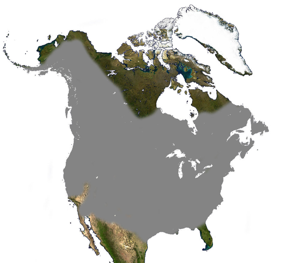 - Figure 3. The range of beaver in North America. Unlike the range of many other species, the range of Castor canadensis has not shrunk, but a lot of areas within the range are currently beaverless. Source: Wikipedia.