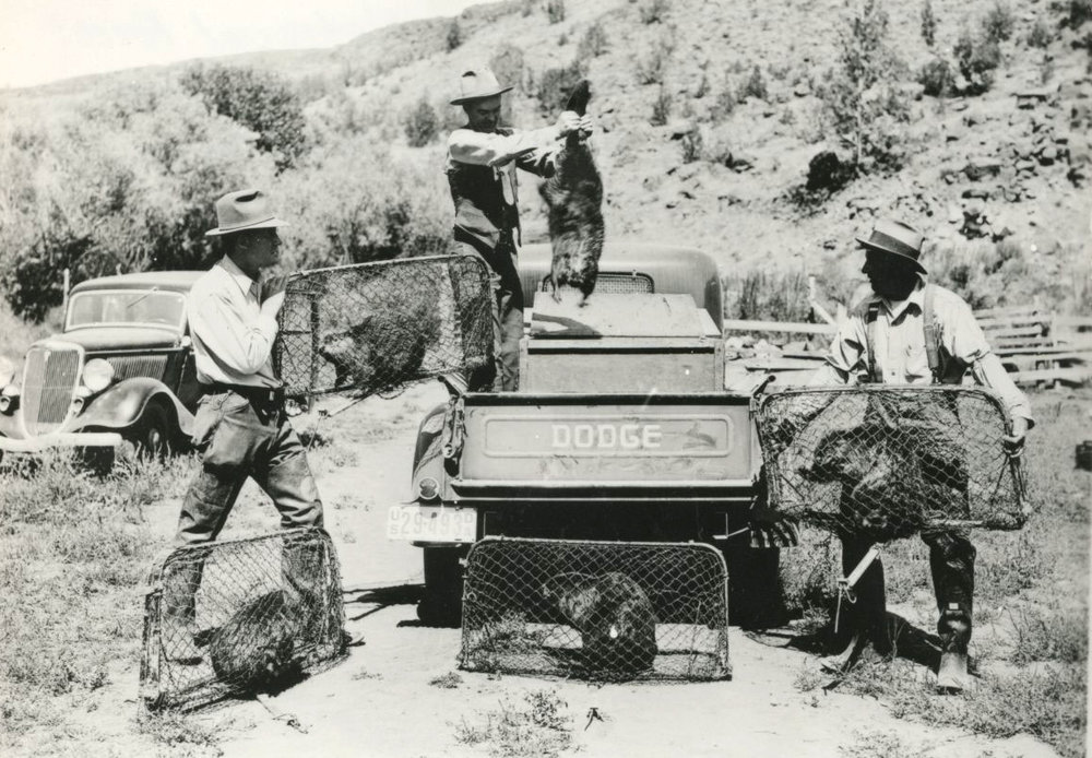 - Figure 4. Reintroduction of the beaver is not a new concept. Beaver were trapped for relocation on the Ochoco National Forest in 1936. Source: Oregon Historical Society.