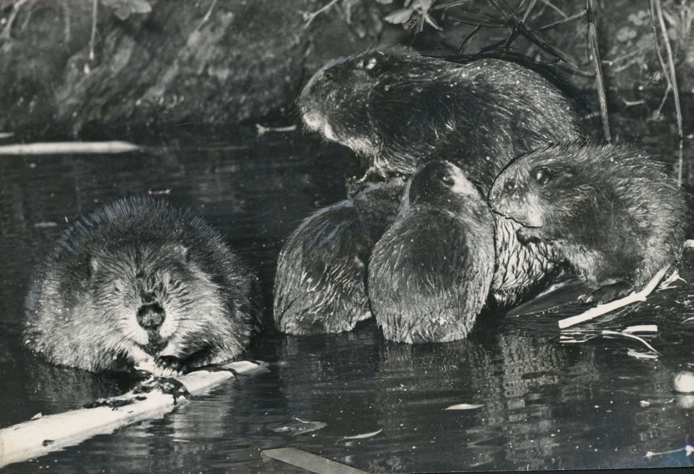 Figure 8.  Beavers are a family-friendly species.  Source:  Oregon Historical Society .