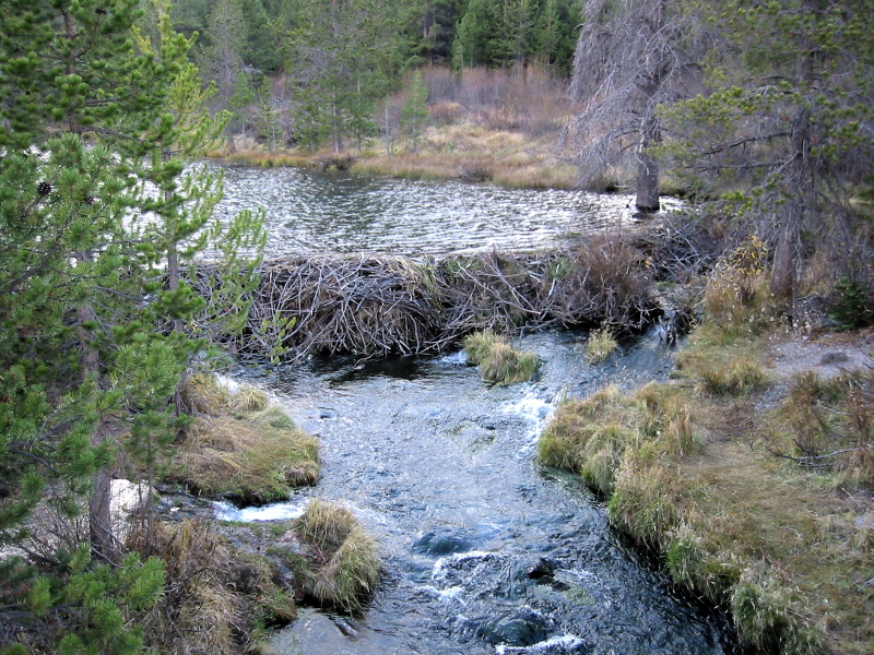 - Figure 12. An example of a good beaver dam that is modestly sized. Source: Wikipedia.