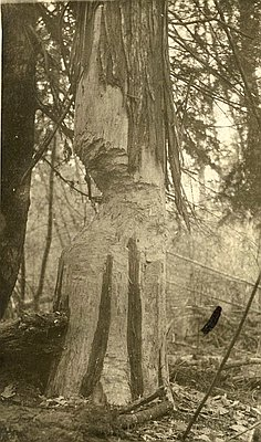 - Figure 13. Timberrrrrrrr! Source: Oregon Historical Society.