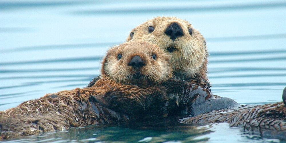 - Figure 3.Northern sea otters (Enhydra lutris kenyoni). Source:US Marine Mammal Commission.