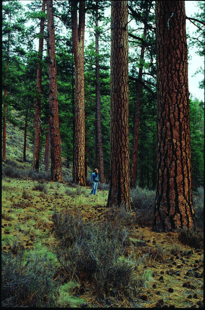 - Old-growth ponderosa pine near the Metolius River. Photo: Elizabeth Feryl (first appeared in Oregon Wild: Endangered Forest Wilderness (2004 Timber Press)