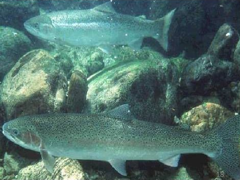 - Upper Willamette winter steelhead. Source: NOAA Fisheries.