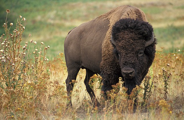 Figure 1.  The American bison . Source:  USDA Agricultural Research Service .
