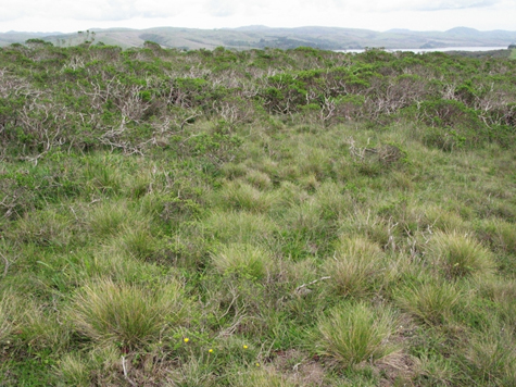 - Fig. 5. Relic deep-root native bunchgrasses of Idaho and red fescues in Point Reyes National Seashore. Source: Restore Point Reyes National Seashore.