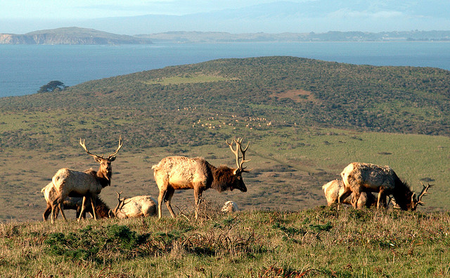 - Fig. 8. Tule elk at Tomales Point in Point Reyes National Seashore. Source: Wikipedia.