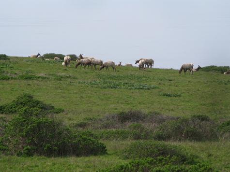 - Fig. 9. Tule elk in the Tomales Elk Reserve, a fenced portion of Point Reyes National Seashore. Source: Restore Point Reyes National Seashore.