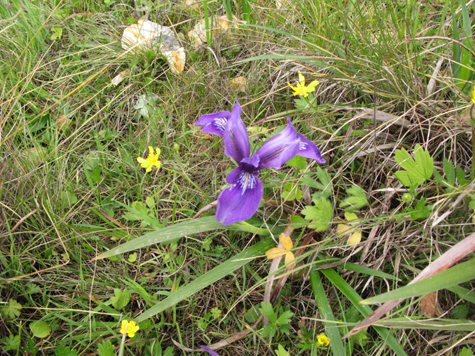 - Fig. 14. Iris and California buttercups in native landscapes in Point Reyes National Seashore. Source: Restore Point Reyes National Seashore.