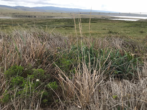 - Fig. 16. Ungrazed relic coastal prairie with Pacific reedgrass, which grows in moist areas of beach, dune, and woodland, and in wetlands at Point Reyes National Seashore. Source: Restore Point Reyes National Seashore.