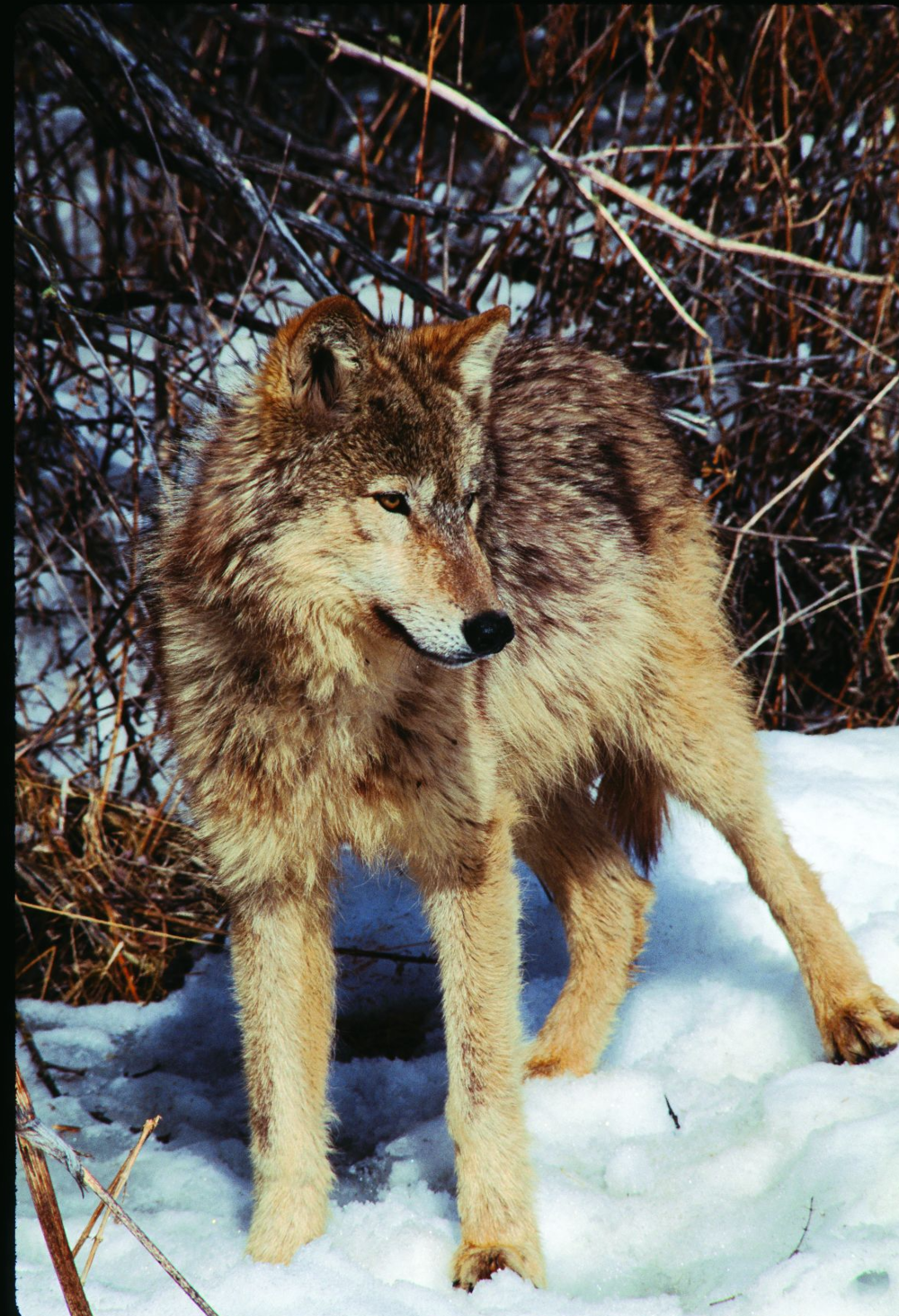- Fig. 2. After a long absence, the gray wolf has returned to Oregon and is gradually reinhabiting wildlands, both protected and unprotected, across the state.Source: George Wuerthner. Previously appeared in Oregon Wild: Endangered Forest Wilderness (Timber Press, 2004), by the author.