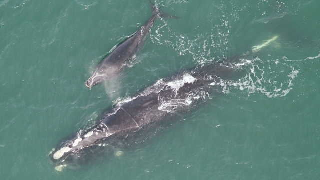 North Atlantic right whale and calf (GA DNR)