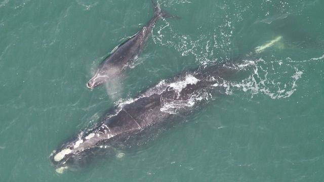 North Atlantic right whale and calf (GA DNR)