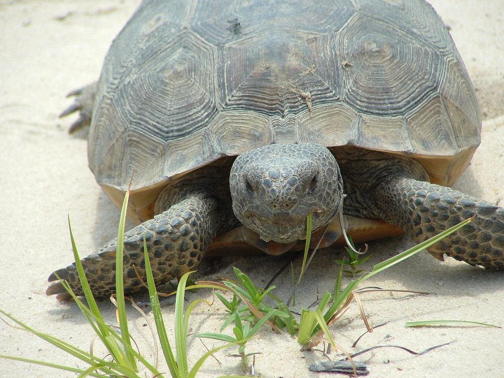 Willowin Gopher Tortoise.jpg