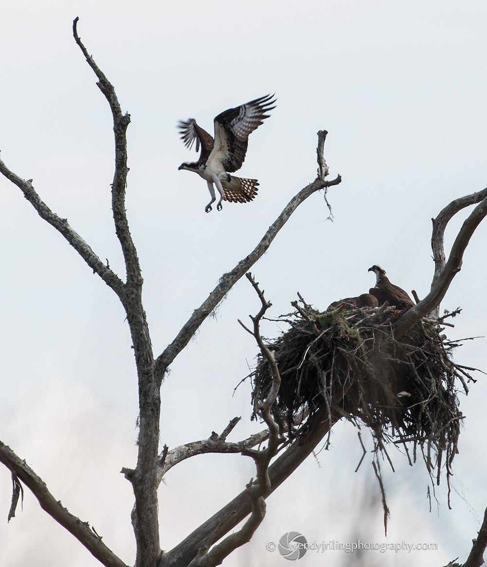Osprey_Nest_1960.jpg