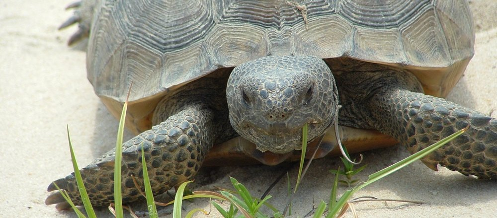 Gopher Tortoise in Irwin County.  Photo By Georgia Conservancy.