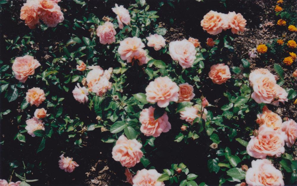 rosesnoborder.jpg