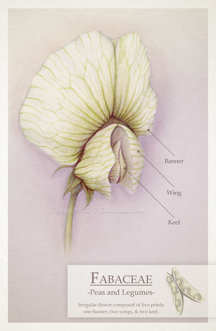 Fabaceae carol marinelli fabaceae pea and legume family flower diagram created in watercolor original on 9 x 12 hard press watercolor water ccuart Choice Image