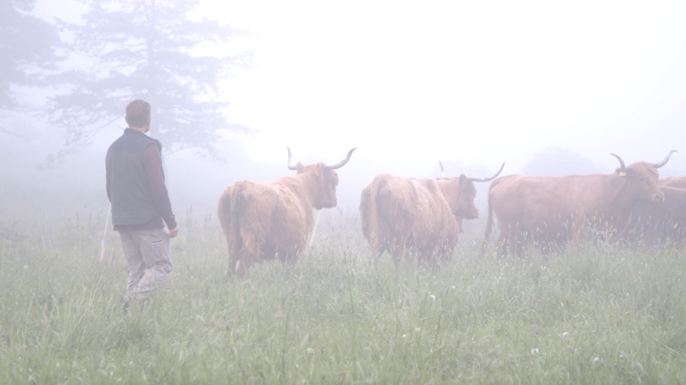Brian Farmer of Yankee Farmer's Market with a herd of Scottish Highland Cows in Stoddard, New Hampshire -
