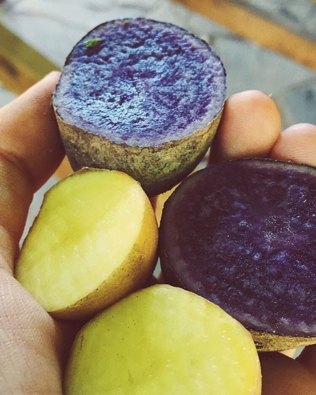 At an #organic farm in Marathon, Greece, I was delighted to find beautiful purple potatoes being sold at the farm stand. Leonidas, a 3rd generation organic farmer, sliced open two different potatoes to reveal the vibrant difference in their color. Although the breed is not native to Greece, we ooh-ed and ahh-ed when Leonidas told us that these were the same potatoes being grown high in the Andes of #Peru! Famous for their deep purple color, cancer-fighting properties and high levels of antioxidants, many of Leonidas' customers had become enthralled with the special potato. 🗣Have a special story about the person behind your delicious meal? Tag us at #HumanSeedsOfChange for a chance to be featured!