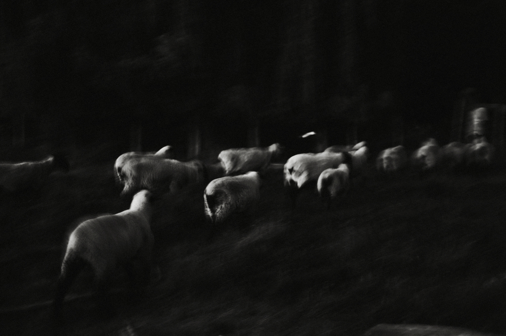 Dad With Sheep, 2010