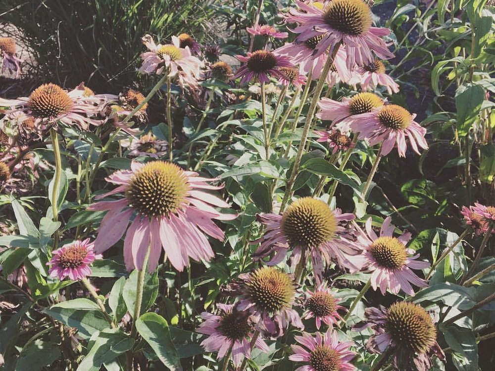 Photo of Echinacea angustifolia taken August 25, 2016