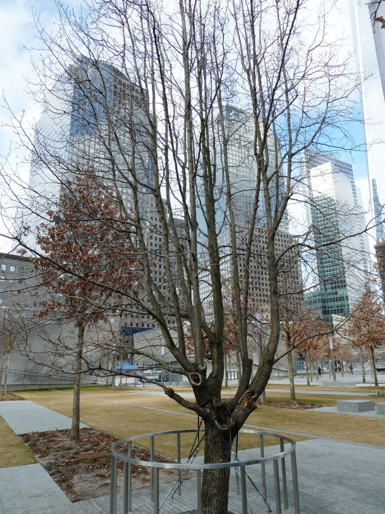 Original-survivor-Tree-@-The-911-Memorial--768x1024.jpg
