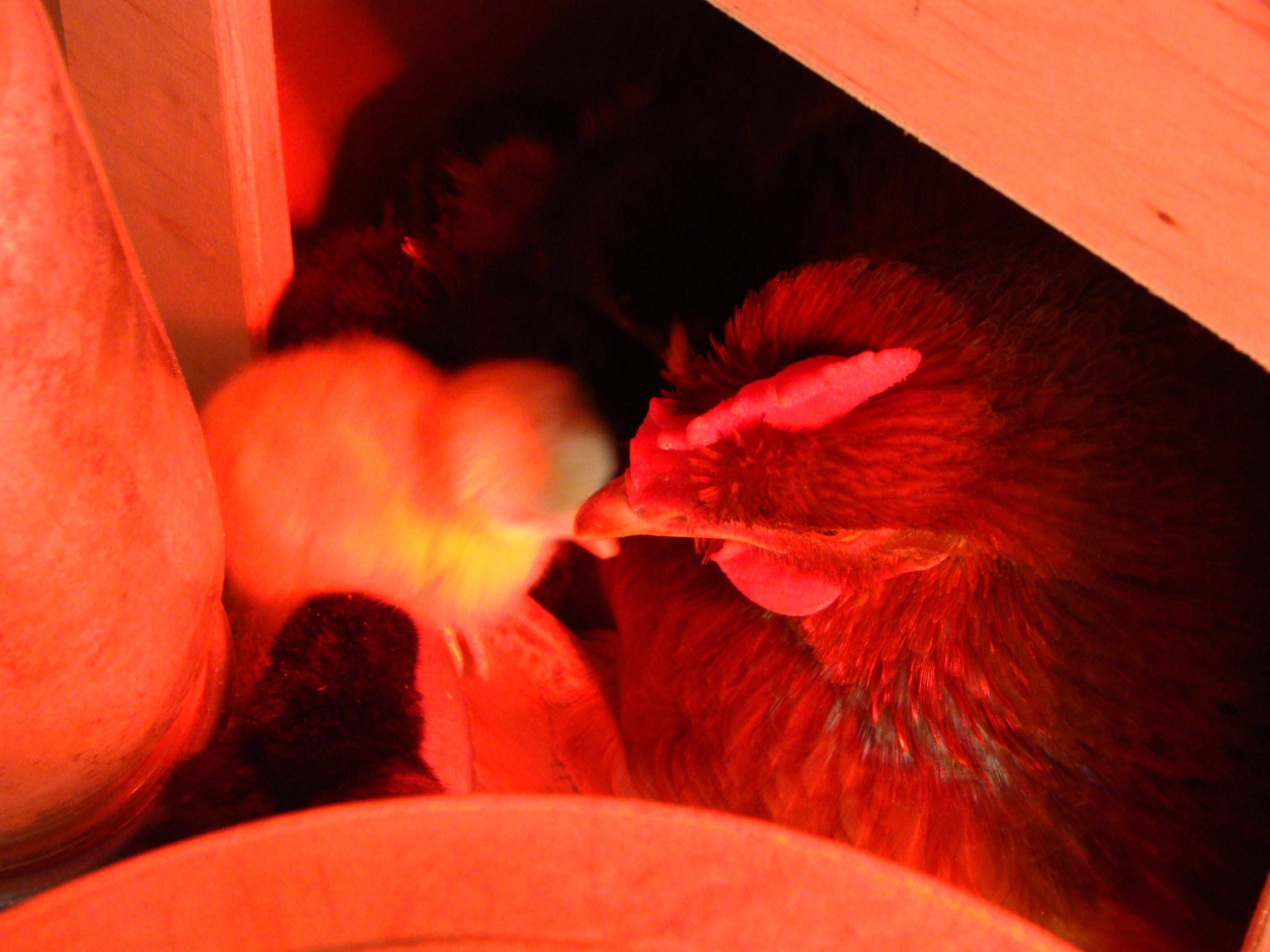 Ella with chicks