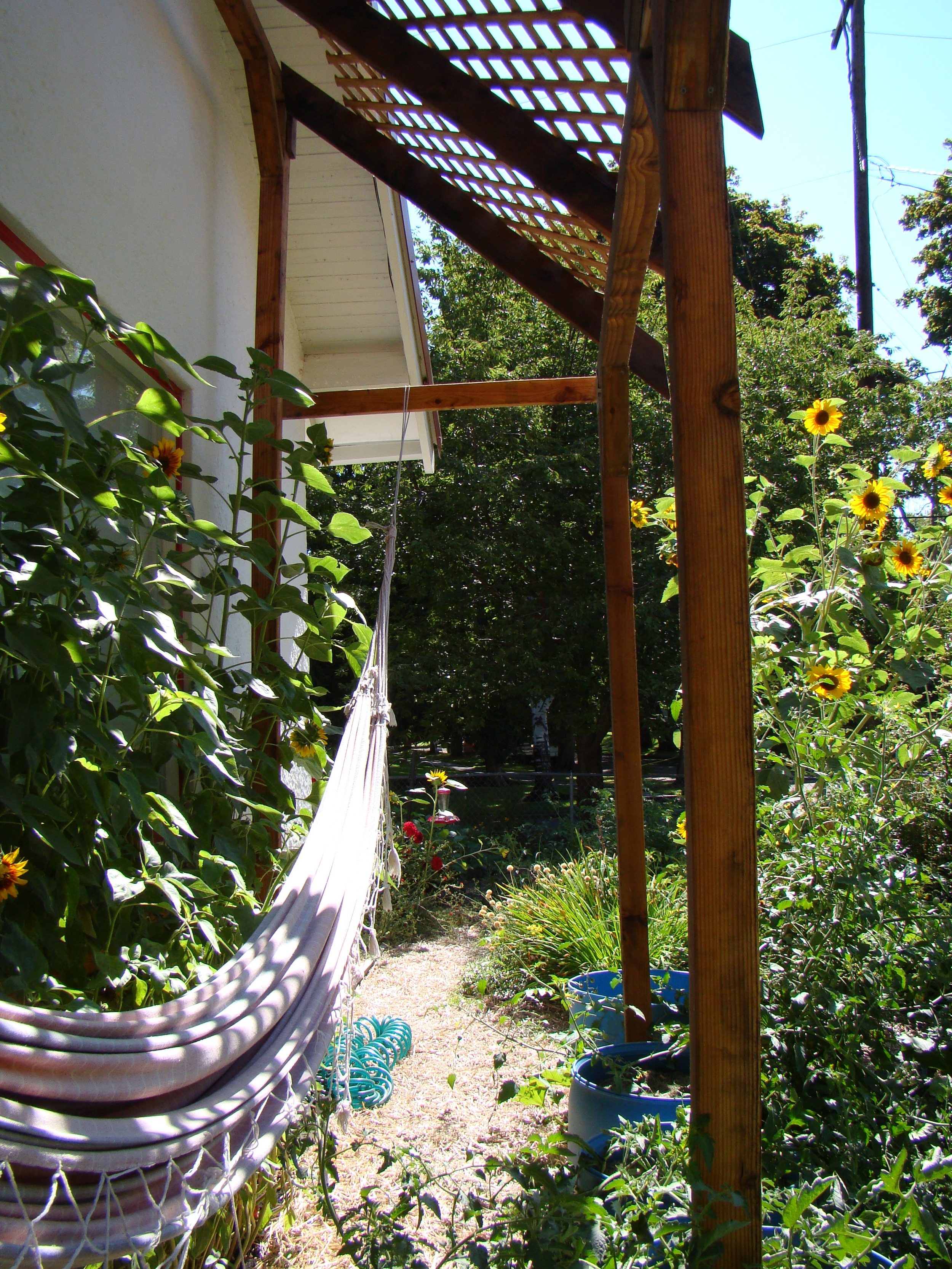 lounging in the hammock under the trellis between the sunflowers and tomatoes