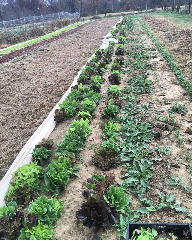 This week, Cobblestone was able to harvest 75lb of lettuce for @samaritancommunitycenter - even in the cold! We are so thankful for such dedicated employees and volunteers! #grow #harvest #dedication #thankful #cobblestonefarm