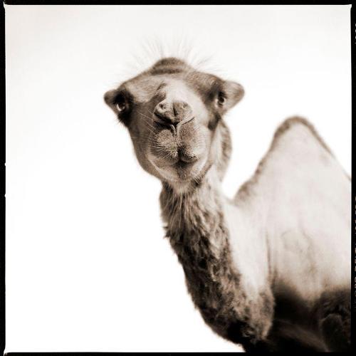 Camel-II